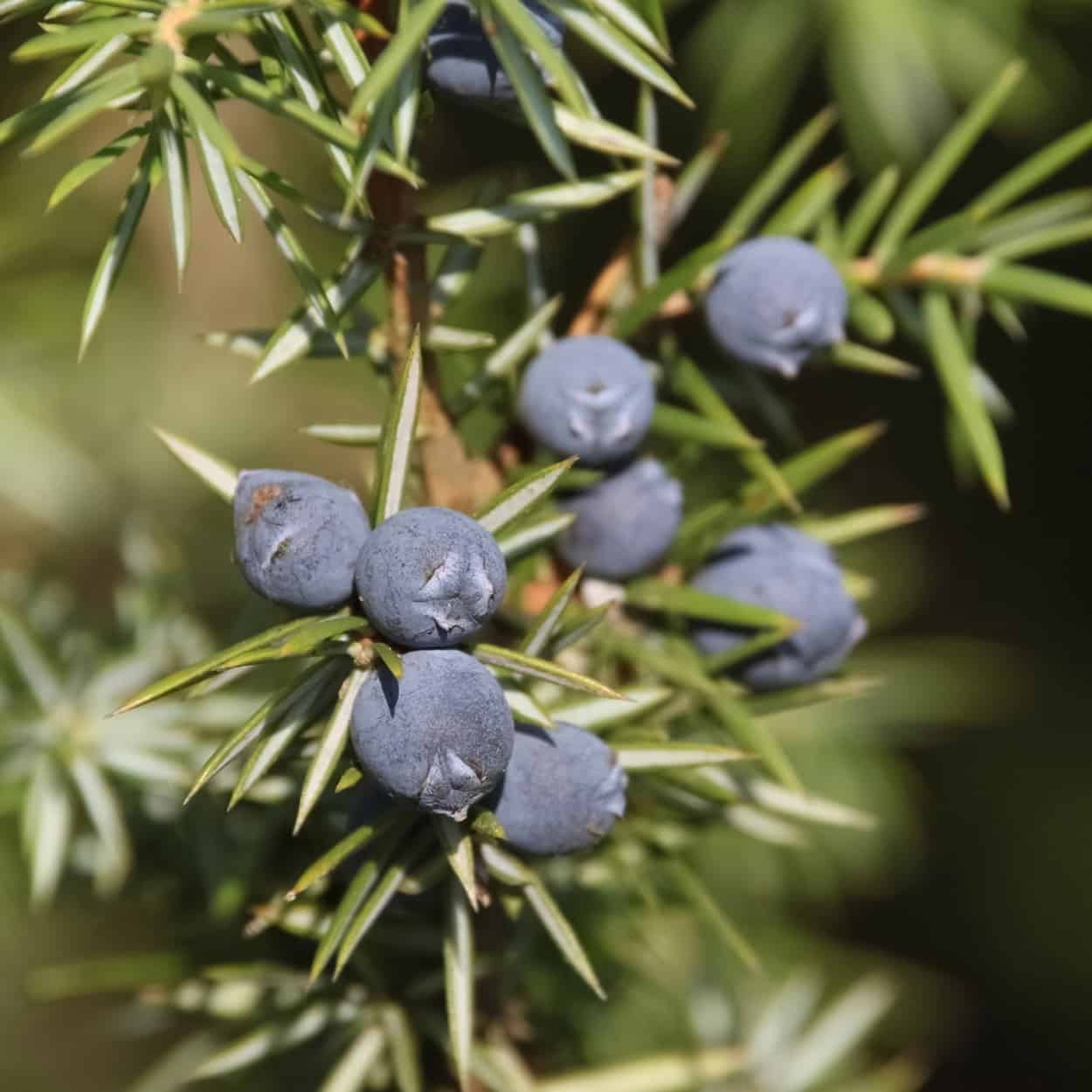 Juniper Berry | BlueStone Essentials