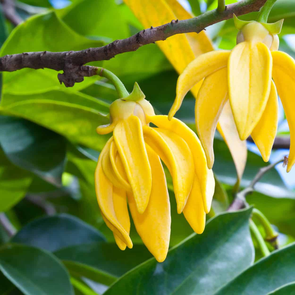 Ylang Ylang Bluestone Essentials